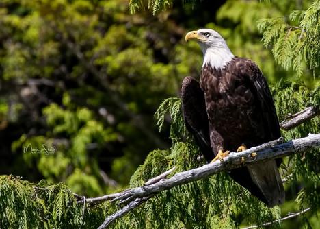 Bald Eagle mature.jpg