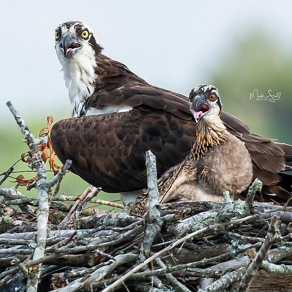Osprey expressions