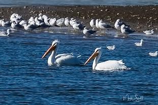 American 2 white pelicans