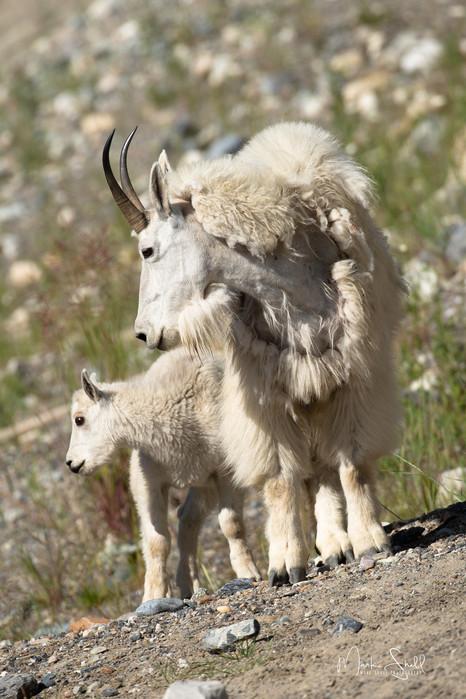 Canadian Rocky Mountain Goats