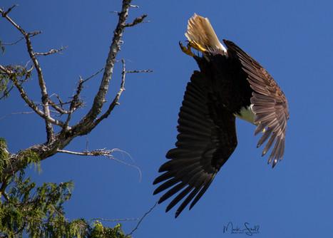 Bald Eagle diving.jpg