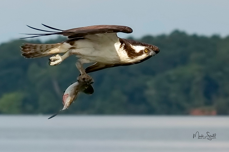 Osprey fishing success