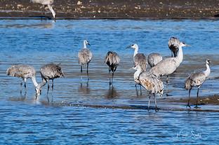 sandhill cranes lon sandbar
