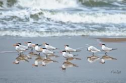 royal terns Outerbanks