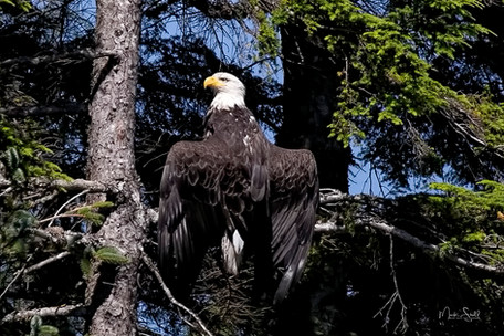 Bald Eagle odd nest pose.jpg
