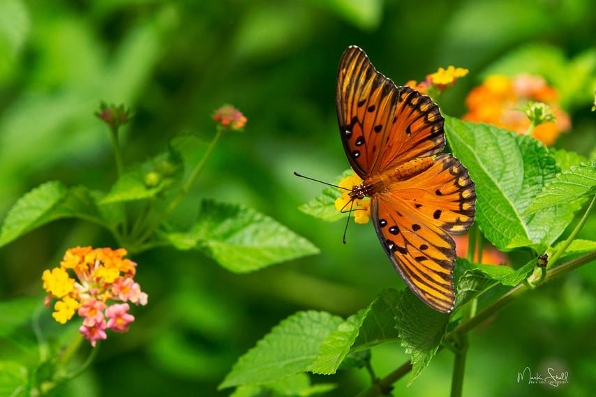 Orange Beauty A Gulf Fritillary
