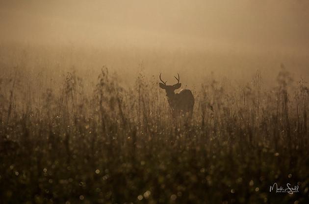 Cades Cove Buck deer.jpg