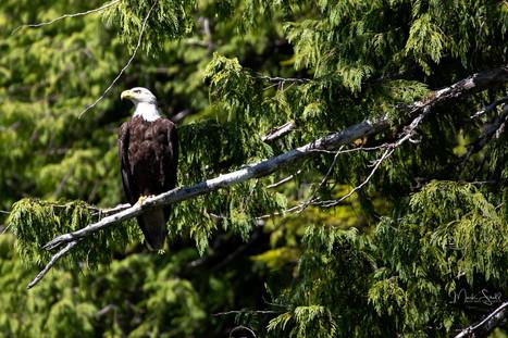 Bald Eagle sharp limb.jpg