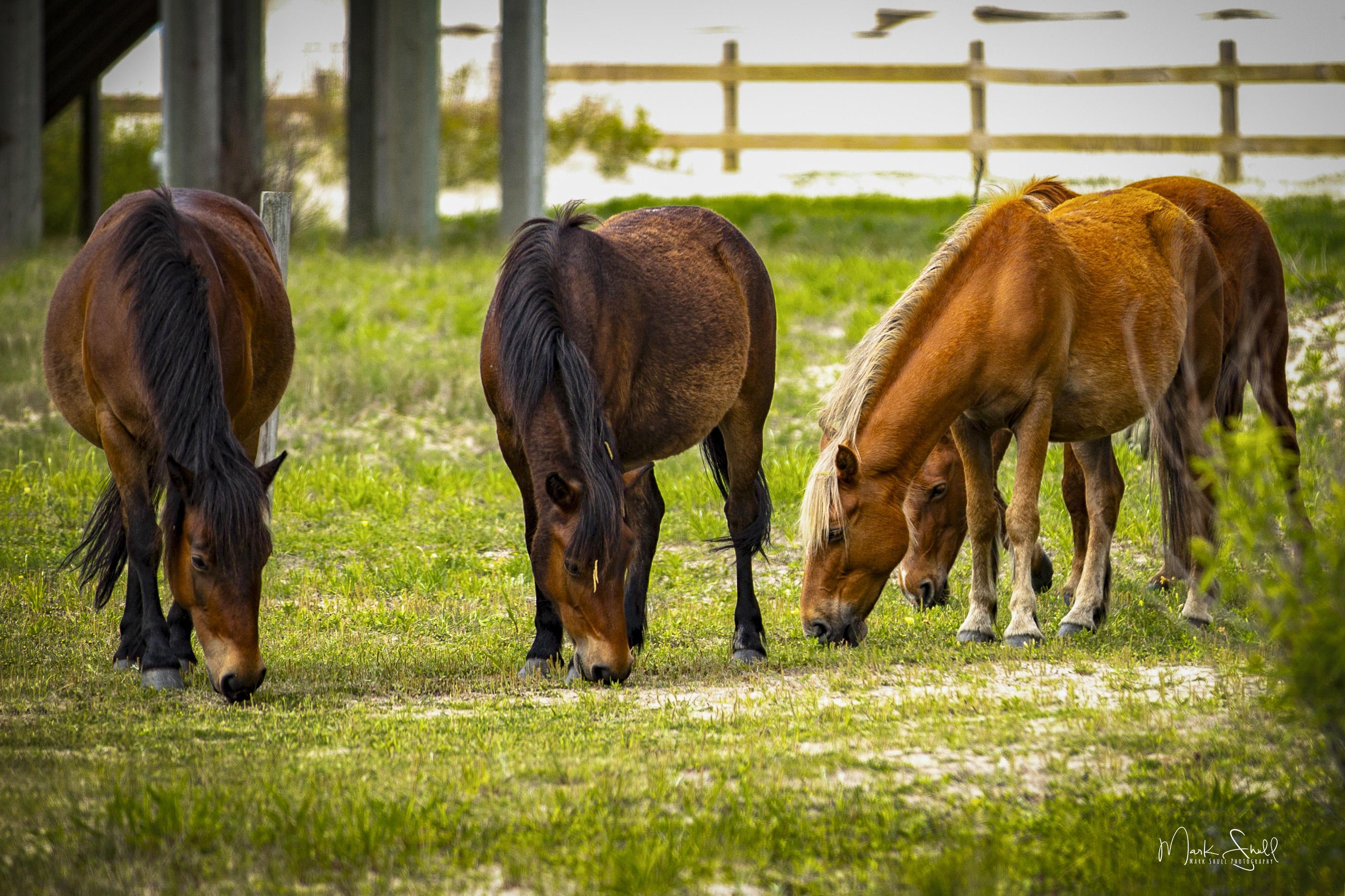 horse harem Spanish Mustangs