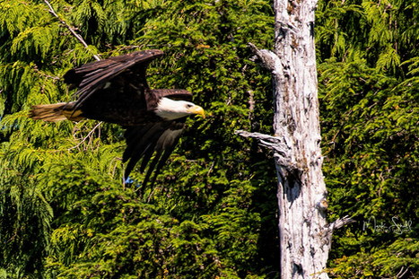 Bald Eagle inroute.jpg