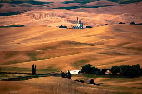 Whitman Co Growers wheat field