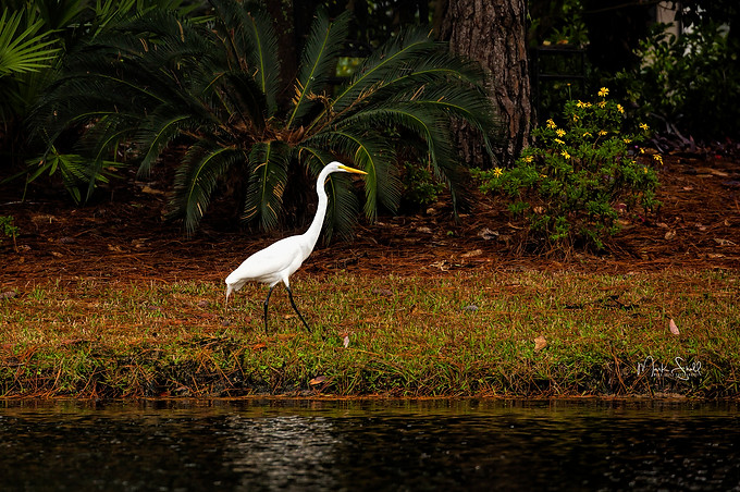 Egret hunting dinner Destin