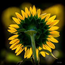 Sunflower morning silhouette