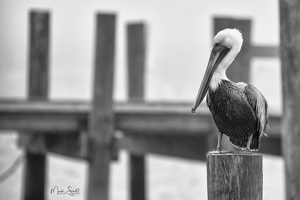 brown pelican on dock BW