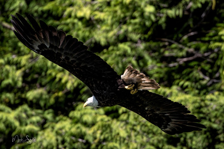 Bald Eagle flight.jpg