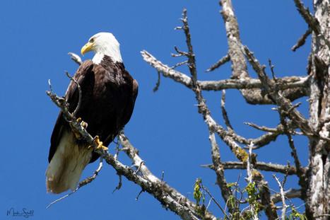 Bald Eagle head turn.jpg