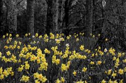 Gibbs daffodil level  bw 2 post