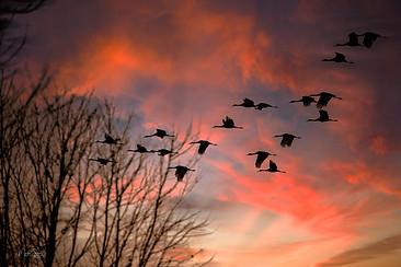 Sandhill Crane Sunset Joe Wheeler