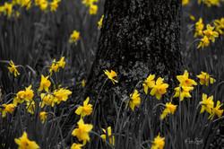 Gibbs daffodil yellow detail bw