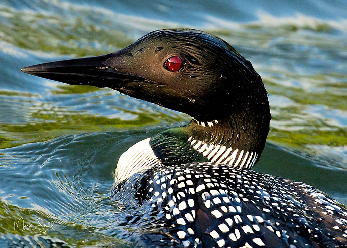 Common Loon portrait