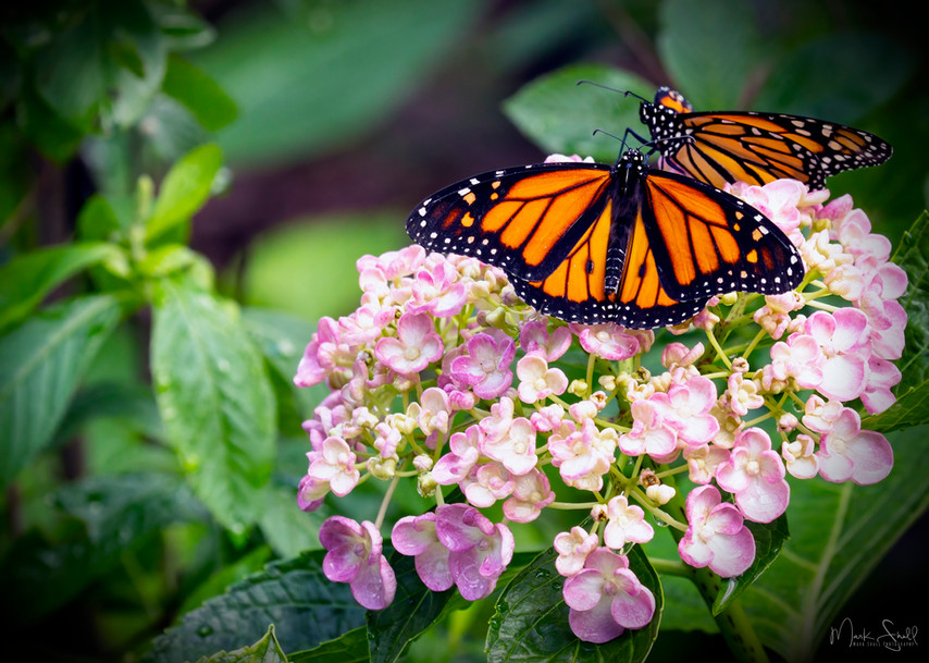 Monarchs Meet Hydrangea