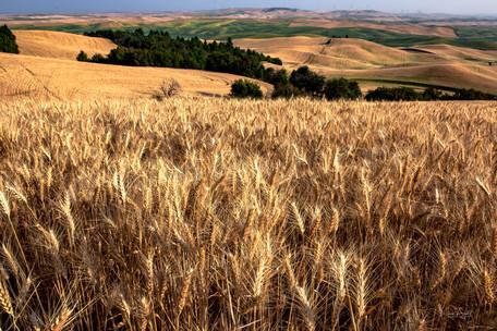 tall wheat in Palouse.jpg