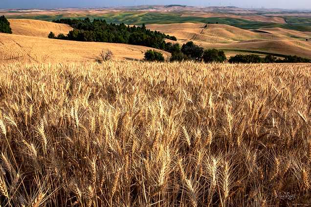 tall wheat in Palouse.jpg