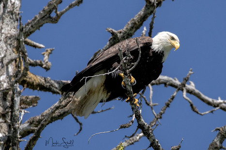 Bald Eagle eagle eye.jpg