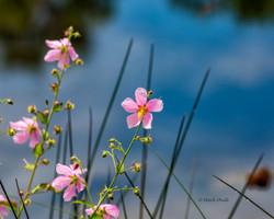 Gulf Marsh Pink Flower