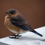 Blue Bird female post.jpg