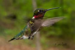 Hummingbird male red throat