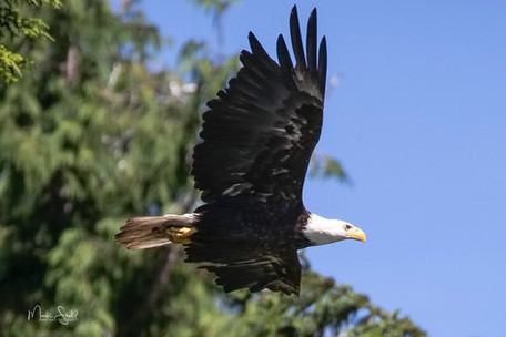 Bald Eagle LR flight.jpg