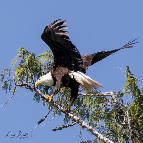 Bald Eagle tree grab.jpg