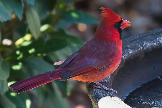 Cardinal birdbath
