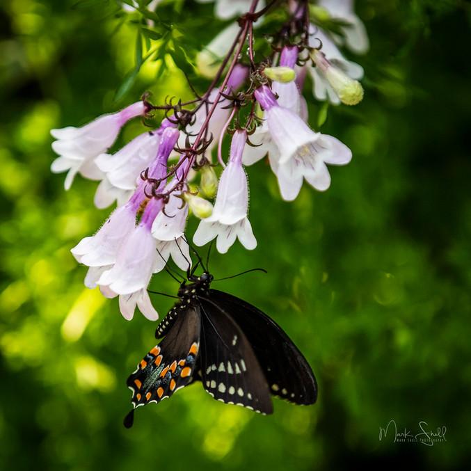 Hanging Spicebush Swallowtail.jpg