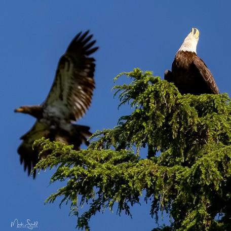 Bald Eagle adult n Juvenile.jpg