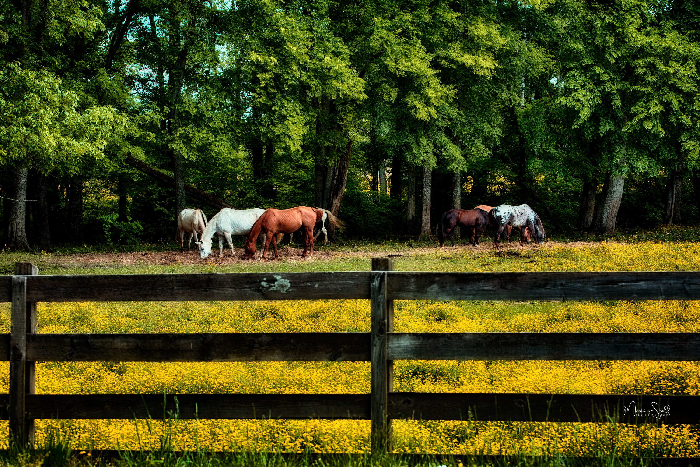 Graysville Horses buttercups