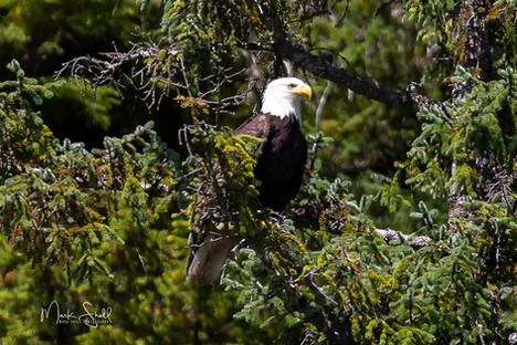 Bald Eagle on limb.jpg