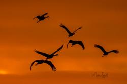 birds sandhill cranes orange silhouette 010517
