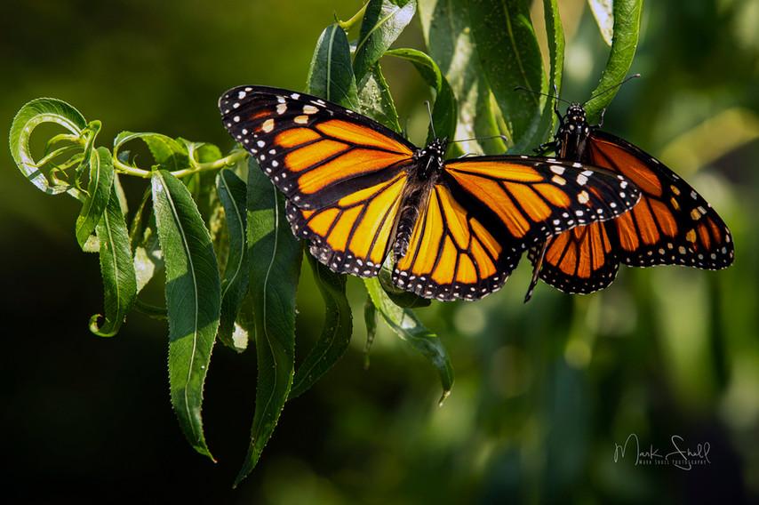 Monarch Pair Perching.jpg