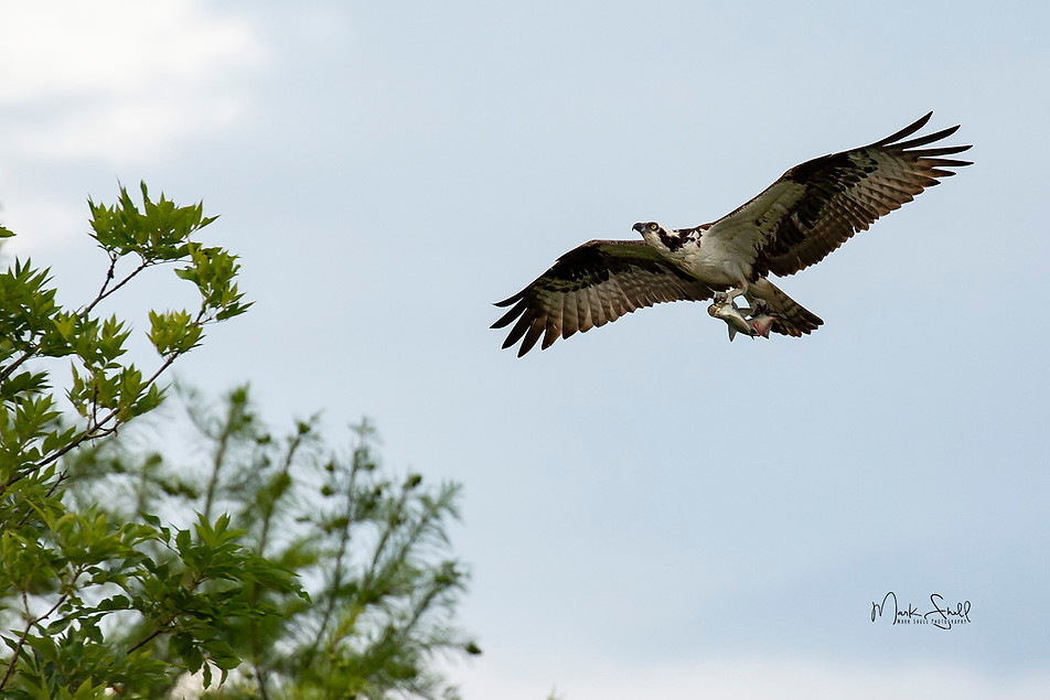Osprey fish dinner tonight