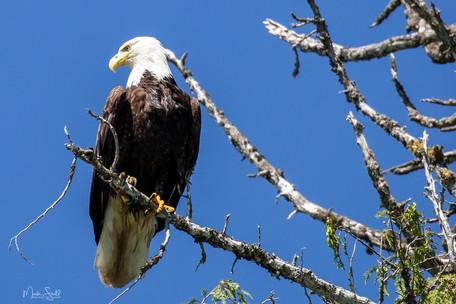 Bald Eagle on a limb.jpg