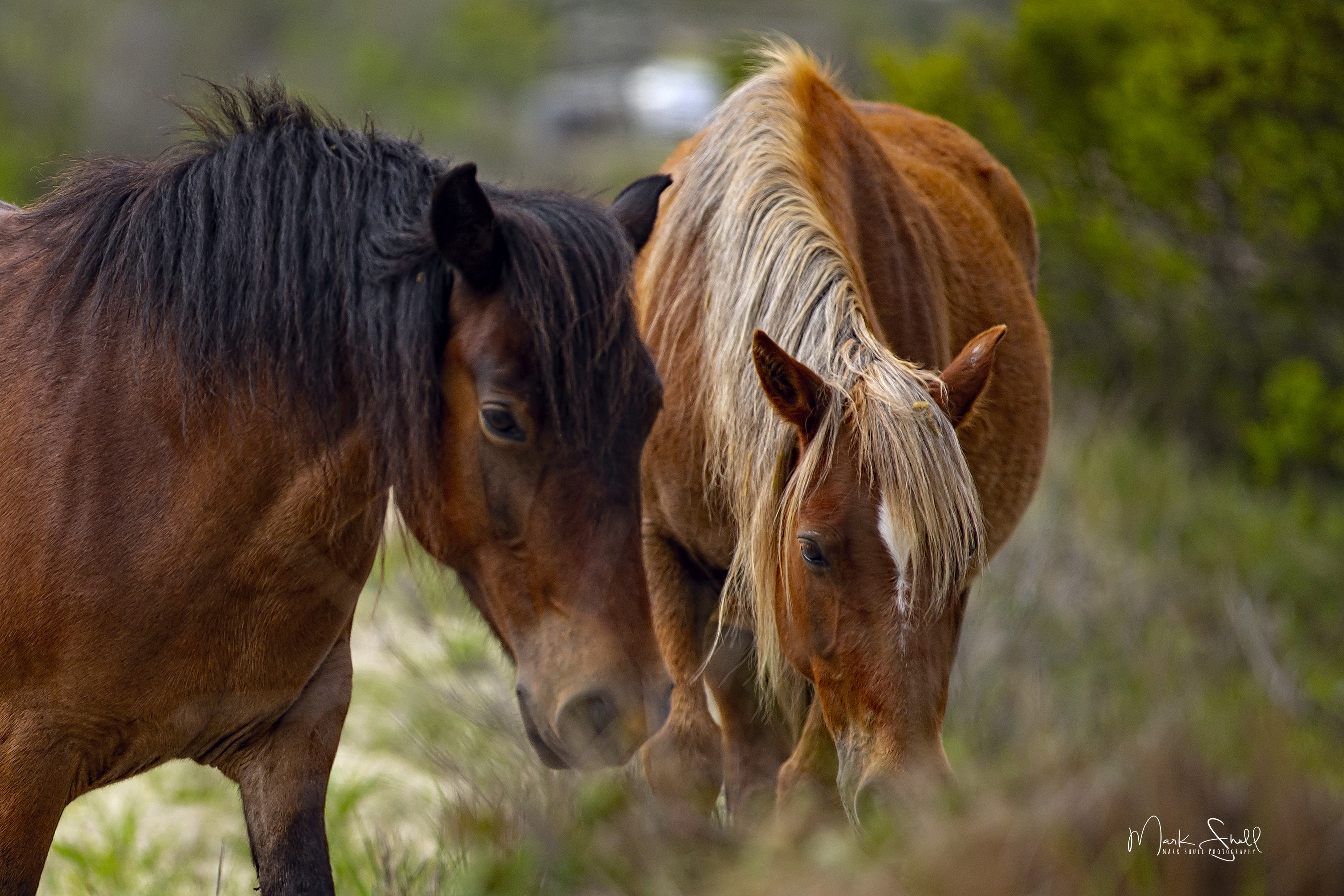 horse pair Spanish Mustangs