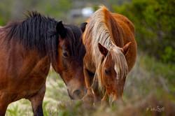 horse pair Spanish Mustangs