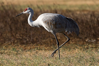 sandhill crane red eyes