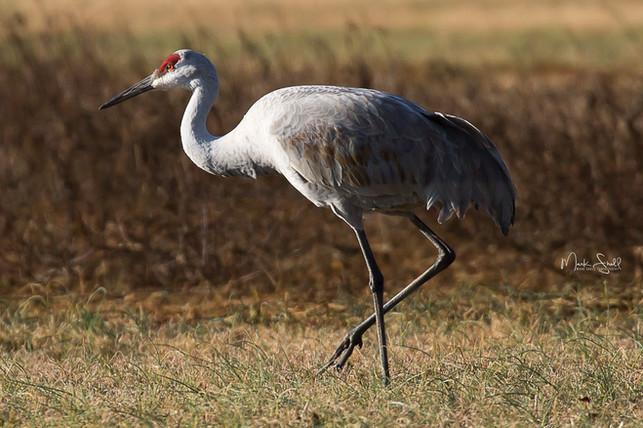 sandhill crane red eyes
