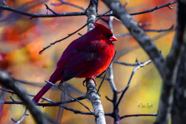cardinal sunrise