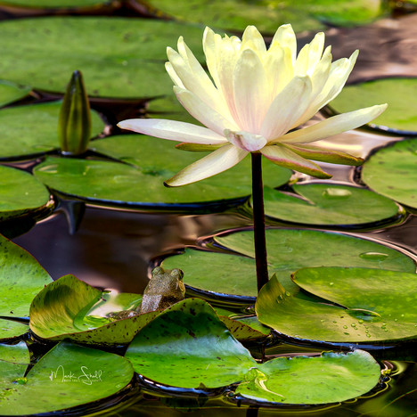 Frog & Water Lily