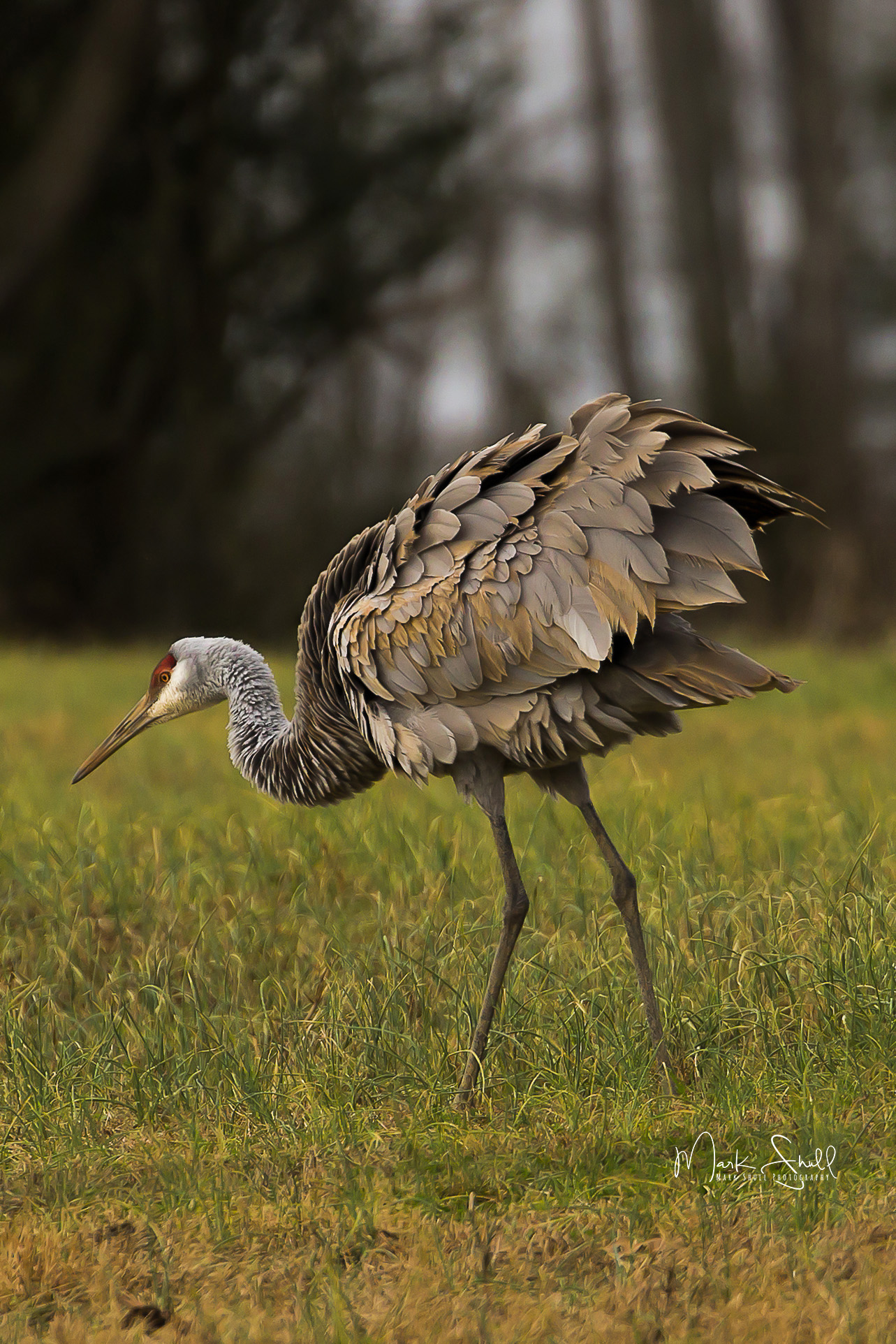 Sandhill Crane fluff feathers 122617