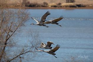 Beautiful Flying Sandhill Cranes